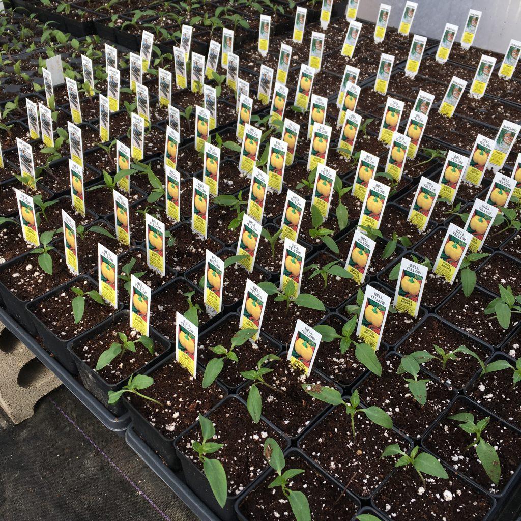 seedlings for plant sale