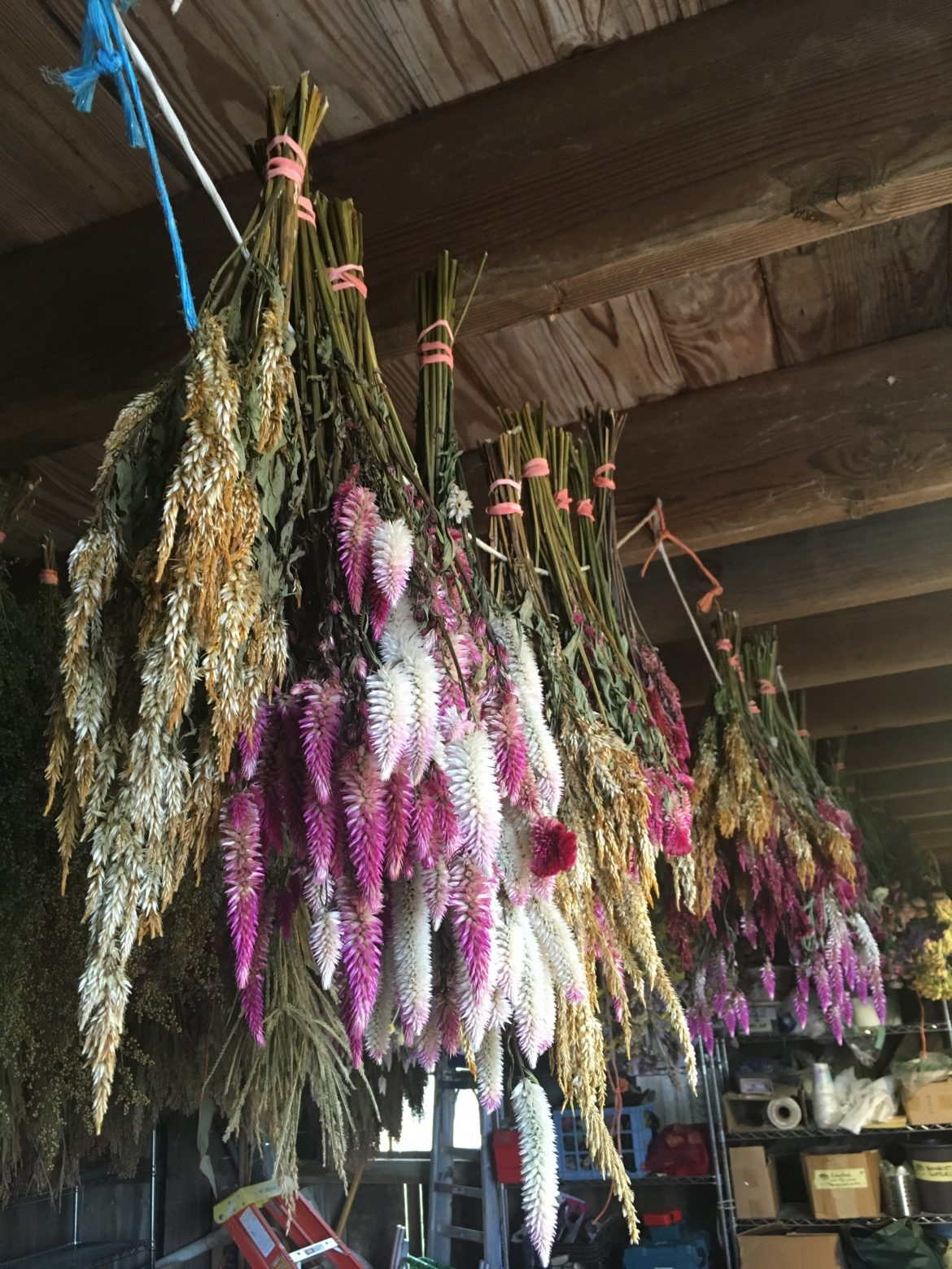 herbs drying in bunches from barn rafter