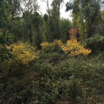 spicebush fall foliage