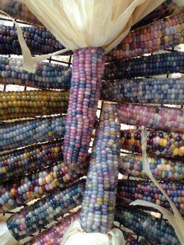 glass gem corn cobs