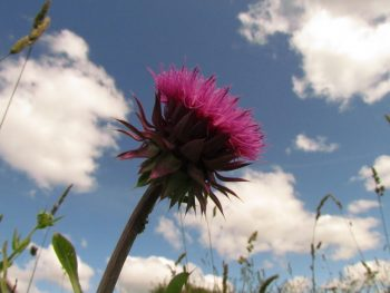 bull thistle and sky
