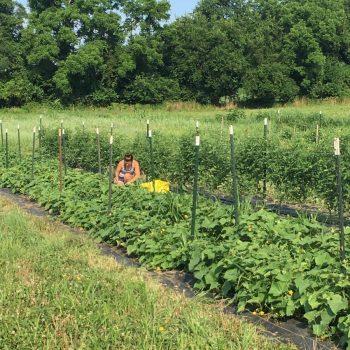 Laura harvesting cucumbers