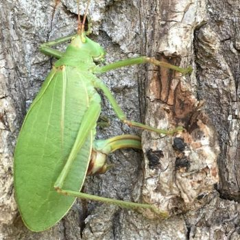 katydid laying eggs under tree bark