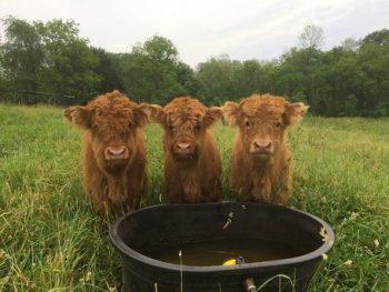 cute cattle at water trough