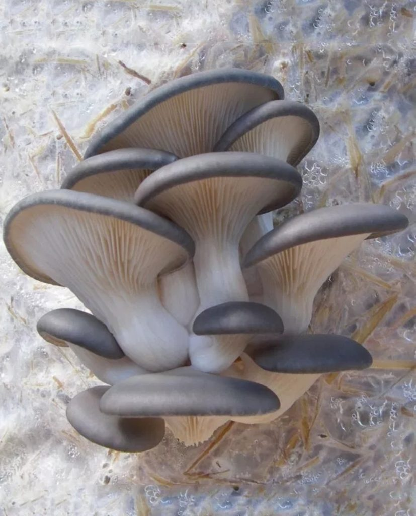 Blue Oyster Mushrooms from the Hippy Homestead