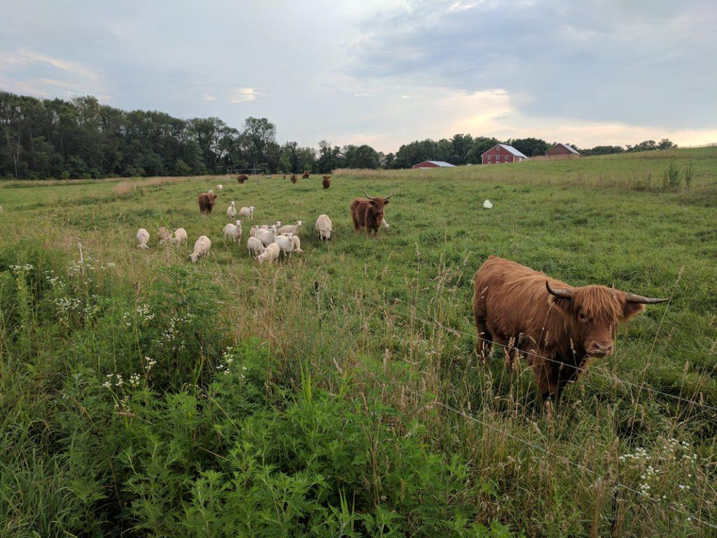 herd grazing at Rising Locust Farm