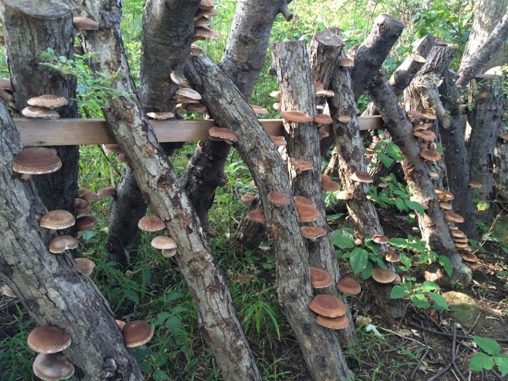 shiitake logs